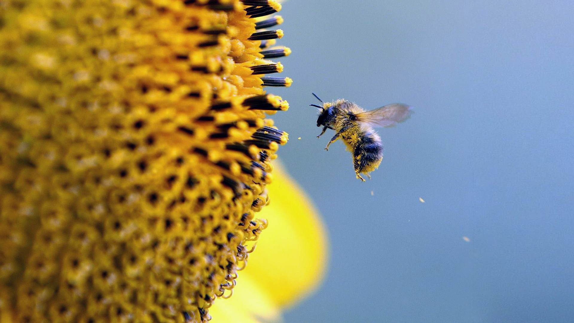 природа цветы насекомое пчела скачать