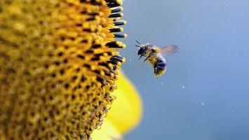 Фото бесплатно пчела, крылья, мех