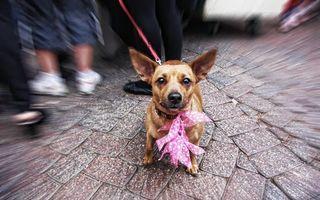 Обои пес, щенок, нос, голова, уши, глаза, язык, зубы, рот, лапы, хвост, поводок