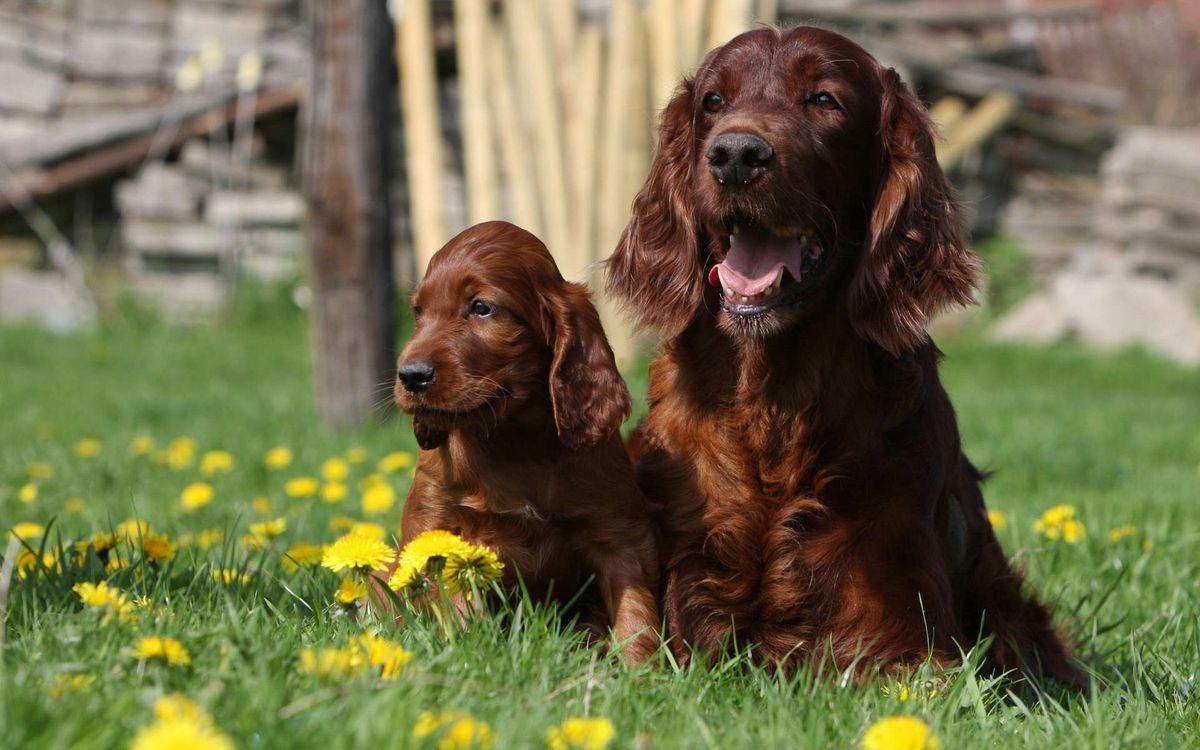Фото бесплатно пес, щенок, семья, мама, ребенок, маленький, шерсть, окрас, порода, лужайка, одуванчики, трава, двор, собаки, собаки