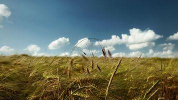 Фото бесплатно поле, пшеница, зерно