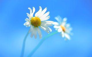 Бесплатные фото ромашки,лепестки,белые,тычинки,стебель,зеленый,цветы