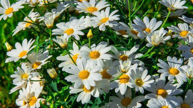 Фото бесплатно ромашки, трава, лепесток