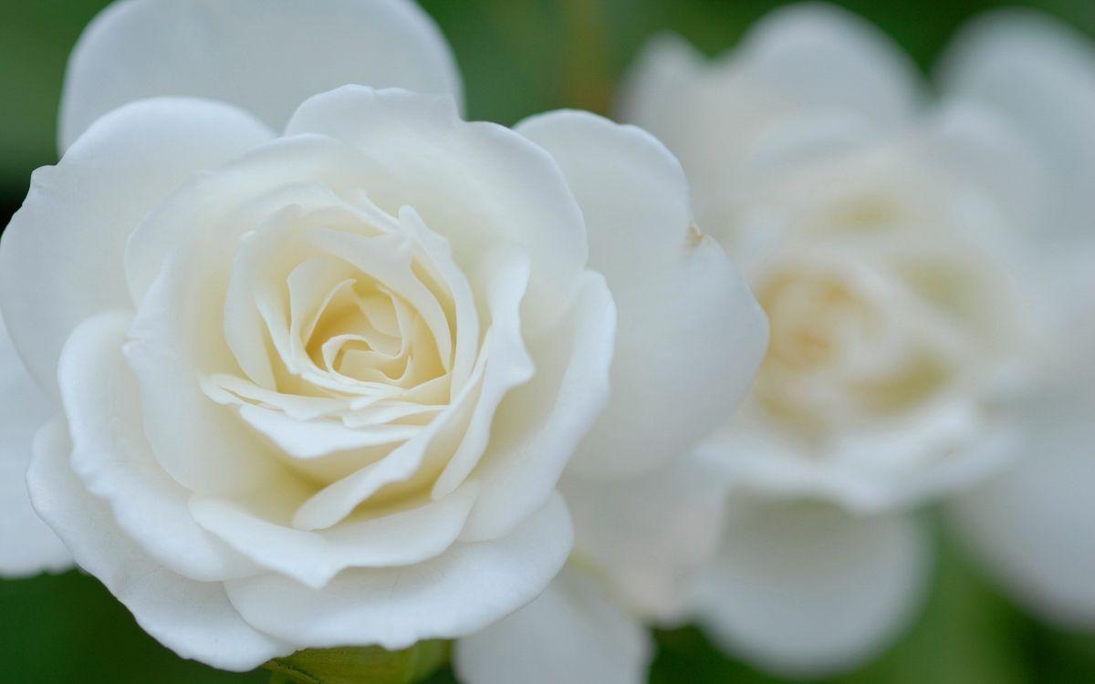 Фото бесплатно розы, лепестки, белые - на рабочий стол