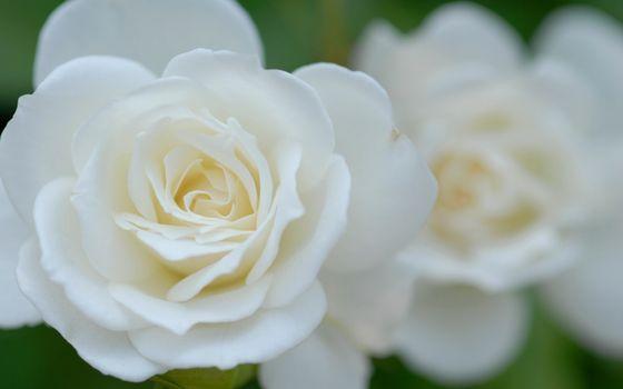 Фото бесплатно розы, лепестки, белые