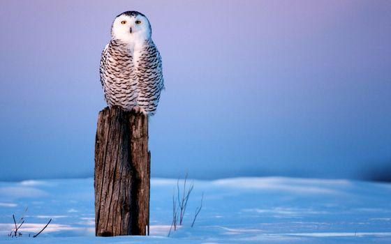 Фото бесплатно сова, и, всё