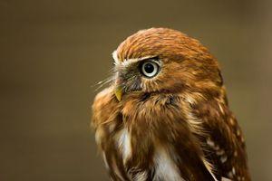 Бесплатные фото сова,рыжая,глаза,клюв,взгляд,удивление,птицы