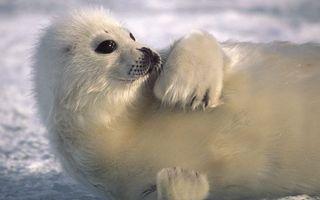 Фото бесплатно тюлень, детеныш, белек