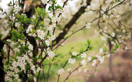 Photo free branches, cherry, petals