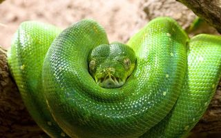 Photo free snake, green, scales