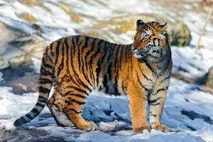 Заставки тигр, тигренок, снег