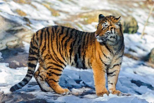 Фото бесплатно тигр, тигренок, снег