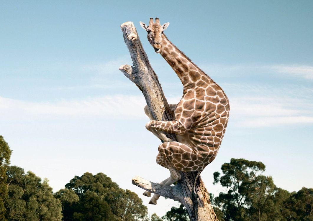 Фото бесплатно жираф, африка, дерево, забрался, испуг, юмор, ситуации, ситуации