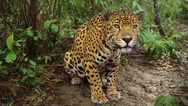 Фото бесплатно леопард, лапы, шерсть, пятнышки, окрас, порода, лес, трава, листья, джунгли, животные