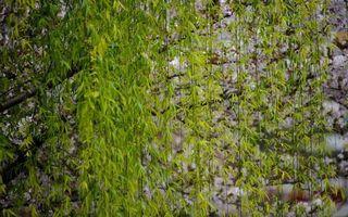 Бесплатные фото ива,дерево,ветки,листья,камни,парк,лес