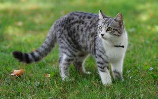 Фото бесплатно кот, серый, белый