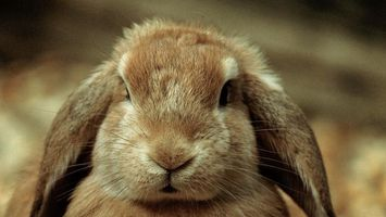 Photo free rabbit, ears, hair