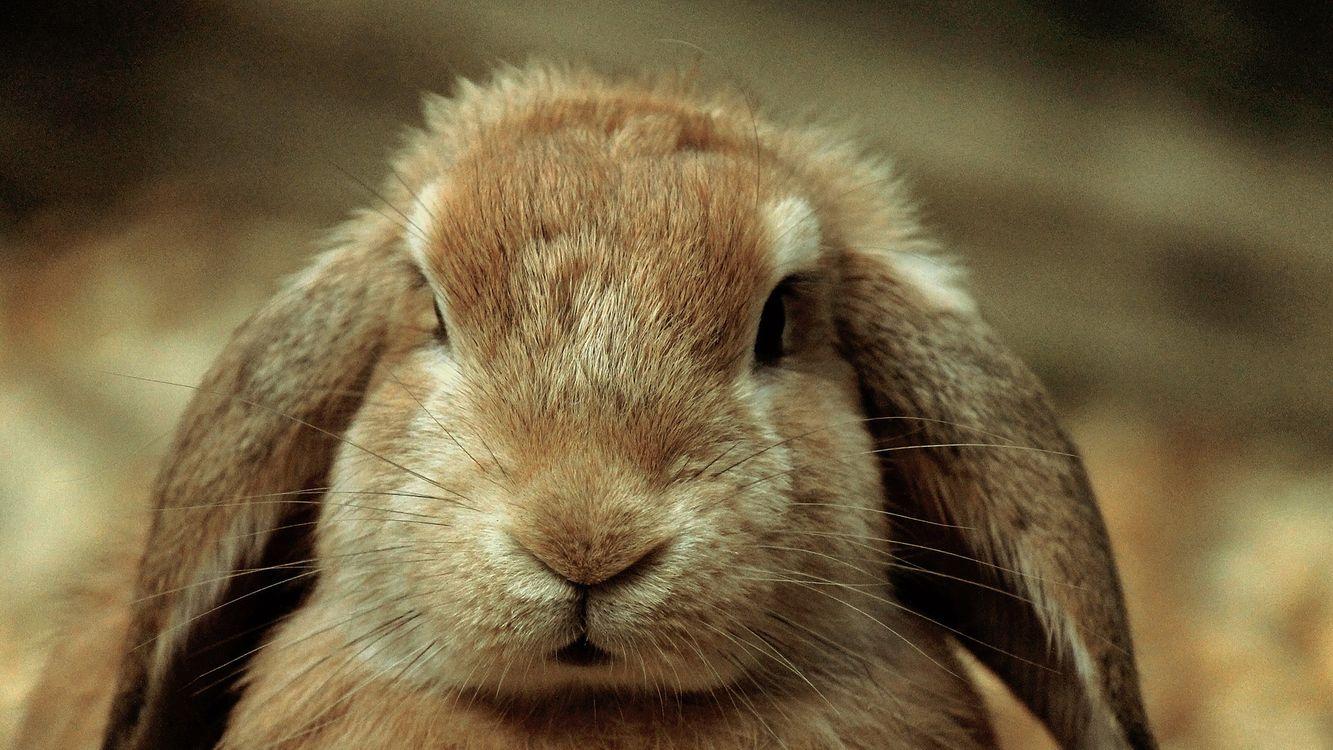 Фото бесплатно кролик, уши, шерсть - на рабочий стол