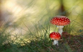 Обои мухомор, гриб, трава, ядовитый, несъедобный, природа, макро