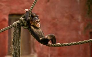 Фото бесплатно обезьяна, детеныш, веревка