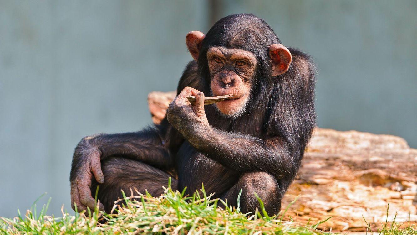 Фото бесплатно обезьяна, трава, палочка, бревно, уши, шерсть, животные, животные