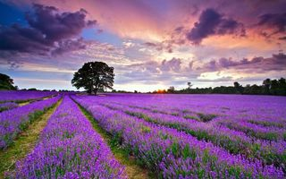 Бесплатные фото поле,лаванда,цветы,деревья,небо,облака,солнце
