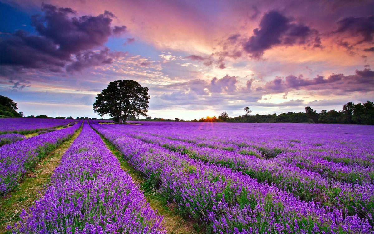 Фото бесплатно поле, лаванда, цветы - на рабочий стол
