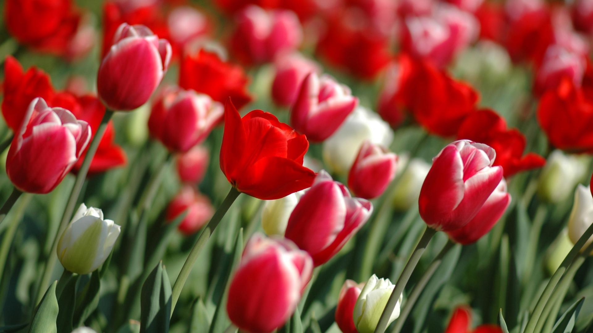 розы, красные, много