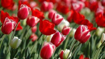 Фото бесплатно розы, красные, много