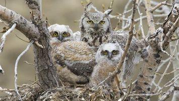 Бесплатные фото совы,семья,гнездо,дикие,маленькие,деревья,кора