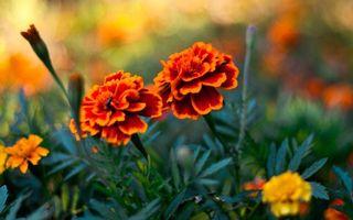 Фото бесплатно цветки, клумба, бутоны