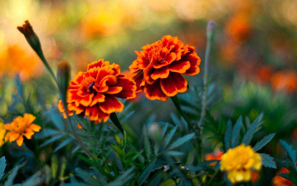 Фото бесплатно цветки, клумба, бутоны - на рабочий стол