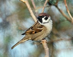 Бесплатные фото воробей,ветка,глазки,смотрит,перышки,лапки,птицы