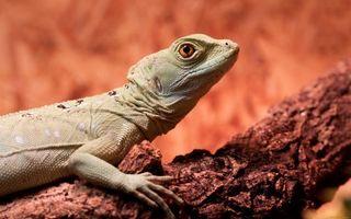 Фото бесплатно ящерица, варан, дикий