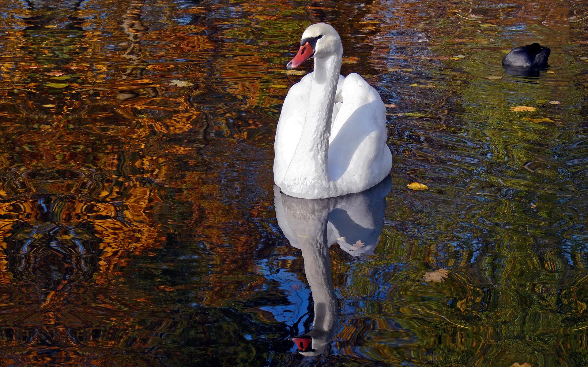 белый лебедь скачать