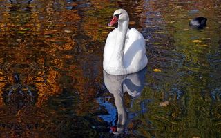 Фото бесплатно лебедь, белый, озеро