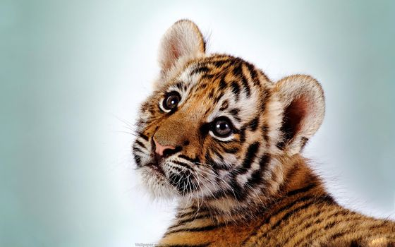 Photo free tigers, striped, baby