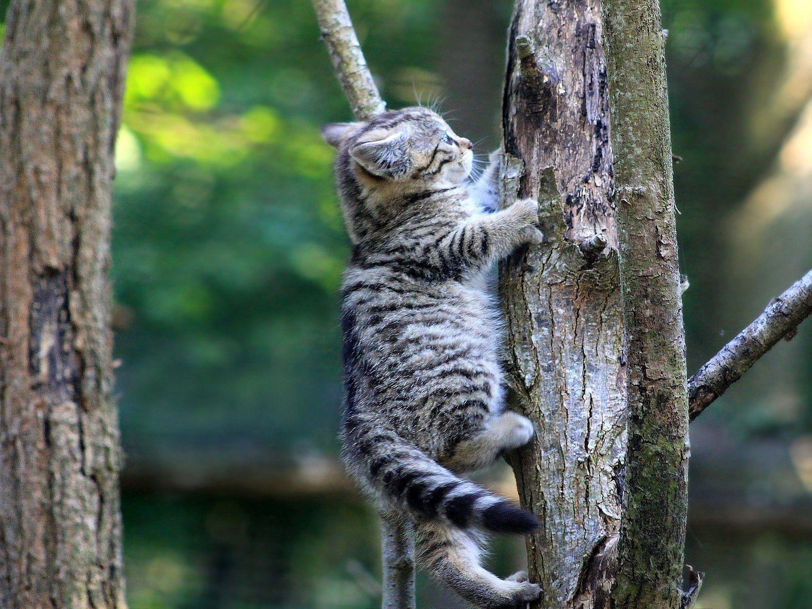 Обои котенок, ползет, вверх, по дереву
