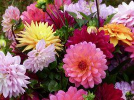 Бесплатные фото георгин,георгины,цветы,флора