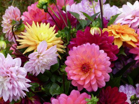 Фото про георгины, цветы