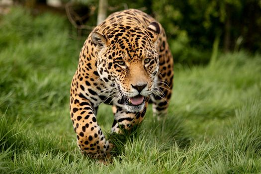 Заставки леопард, шерсть, трава