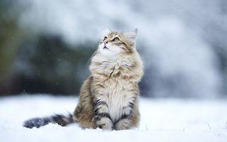 Бесплатные фото кошка,морда,шерсть,лапы,хвост,снег,зима