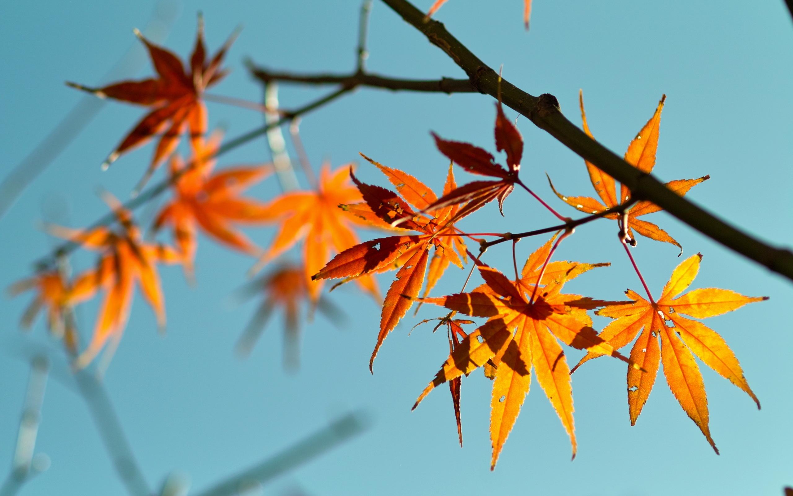 осень, оранжевые, листья
