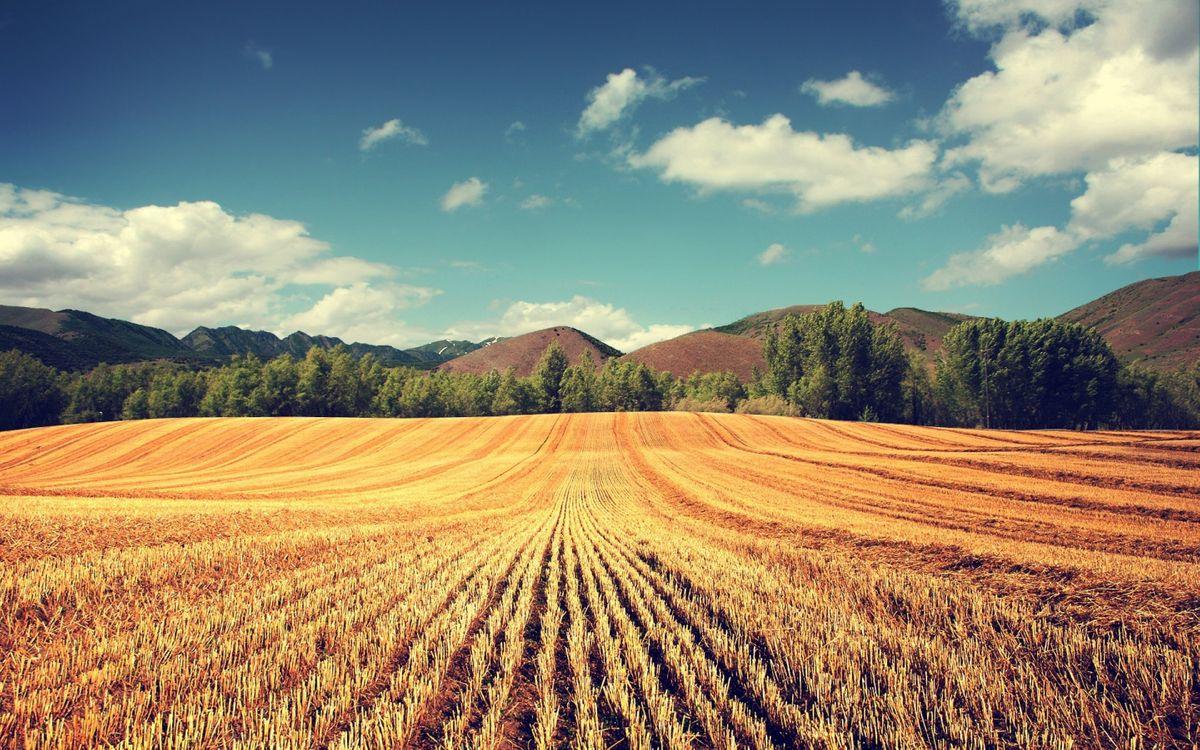 Фото бесплатно поле, пшеница, урожай, колосья, деревья, небо, холмы - на рабочий стол