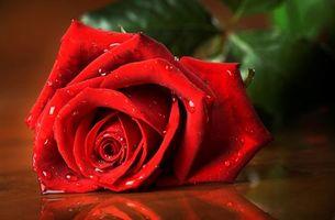 Фото бесплатно цветы, роза, красная