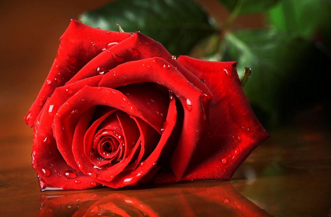 Фото бесплатно роза, красная, листья, зеленые, лепестки, капли, вода, цветы, цветы