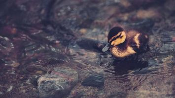 Photo free duckling, small, cub