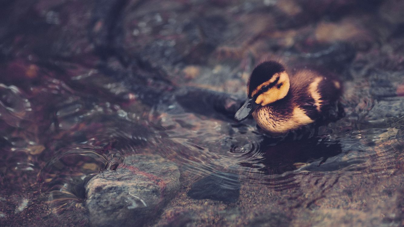 Free photo duckling, small, cub - to desktop