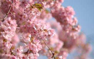 Фото бесплатно яблоня, цветет, цветы, розовые, ветви, листья, природа