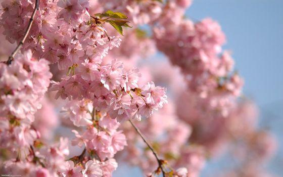 Фото бесплатно яблоня, цветет, цветы